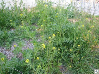 Typical Las Vegas Ragweed Takes Over Entire Neighbhorhoods In Las Vegas
