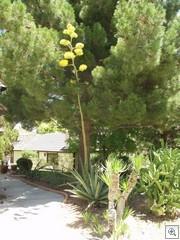 Agave  Flower stalk at Forest hills