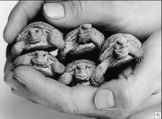 Baby Desert Tortoises - photo courtesy of the TortoiseGroup